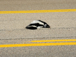 Road kill cuisine: animali spiattellati per gourmet d'eccezione!